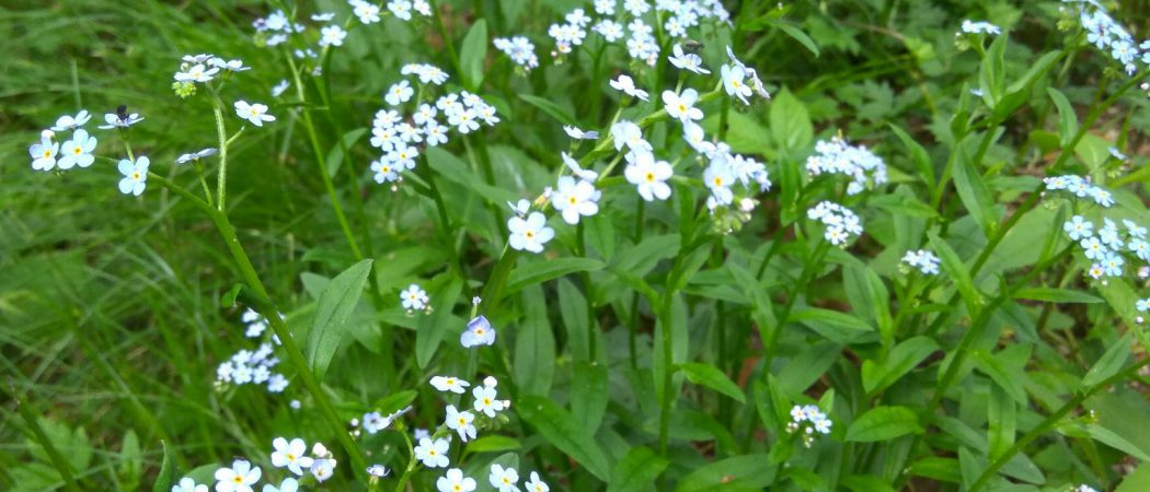 Frillensee - Rundweg / Blumen